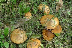 Luxury Home for sale in Piemonte. - Porcini mushrooms from the garden