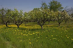 Business for sale in Piemonte - Orchard in spring