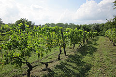 Country Estate for sale in the Asti region of Piemonte - Vineyard