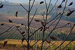 Wine Business for sale in Piemonte - Vineyards for sale in the Langhe region Piemonte
