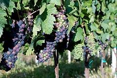 Wine Business for sale in Piemonte - Vineyards for sale in Barolo,Barbaresco Langhe region