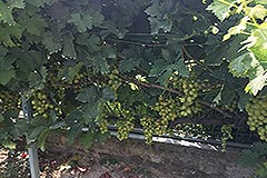 Property for sale in the Langhe region of Piemonte - Grapes in the garden