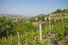 Wine Estate,Farmhouse, Villa ,Olive Grove and Moscato Vineyards for sale in Piemonte - Vines